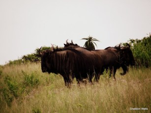 Some Unruly Wildebeest at Tala Game Reserve