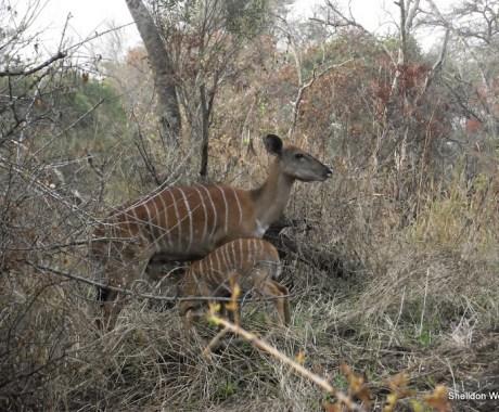 Nyala Doe and Nursing Cal at the Hluhluwe Imfolozi Game Reserve on our 3 day Safari Tour