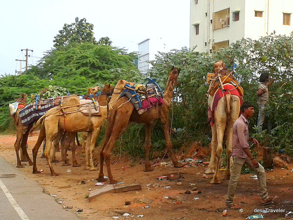 Camels and camel herder