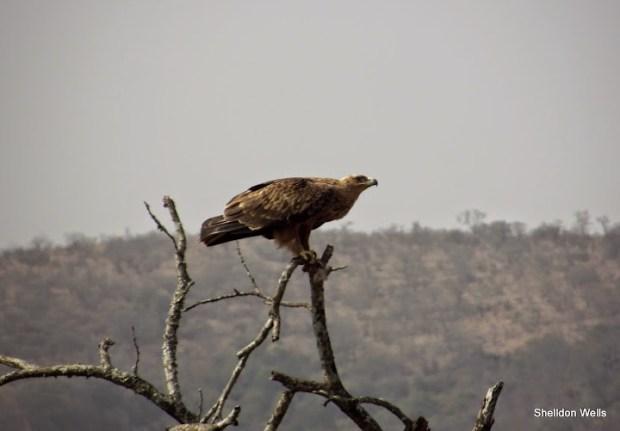 tawny eagle at the hluhluwe imfolozi game reserve