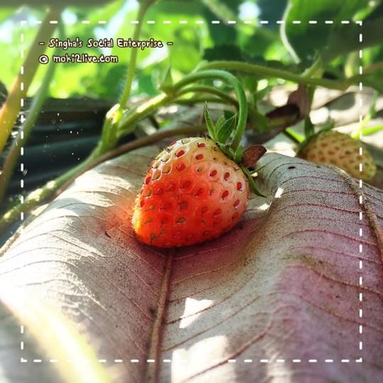 Strawberry ผลผลิตจาก กิจการเพื่อสังคม สิงห์ปาร์ค เชียงราย
