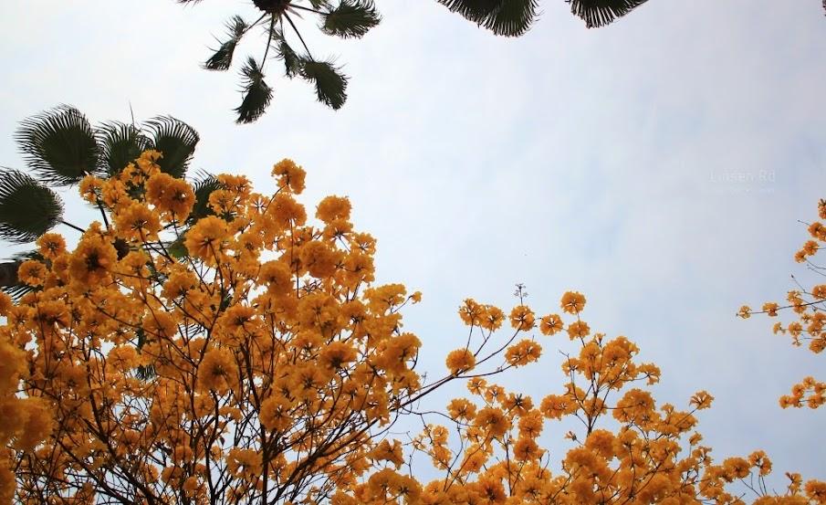 台南東區,中西區,黃花風鈴木-5
