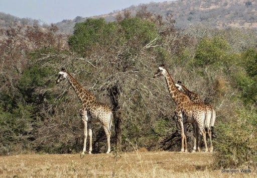 Journey of Giraffe at hluhluwe imfolozi game reserve