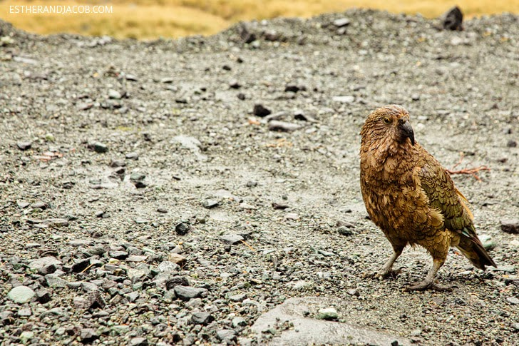 Wild New Zealand Kea Bird at Fiordland National Park   Day 5 Sweet as South Contiki Tour.