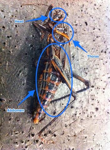 Kenzie S Biology 11 Blog Grasshopper Dissection Lab