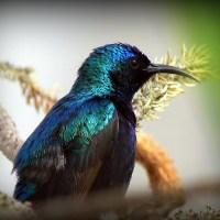 Нектарница, солнечная птичка