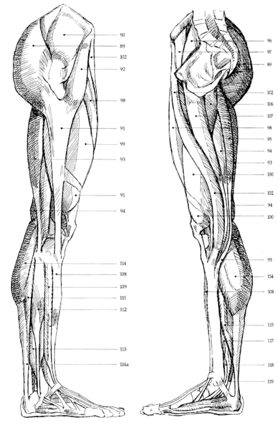Charmant Trap Muskel Zeitgenössisch - Anatomie Ideen - finotti.info