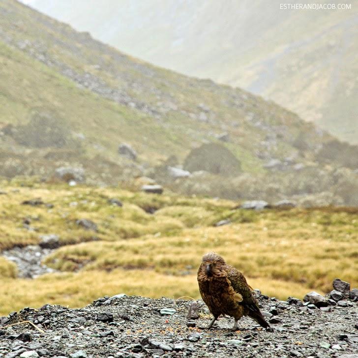 Wild Kea Parrot at Fiordland National Park New Zealand   Day 5 Sweet as South Contiki Tour.