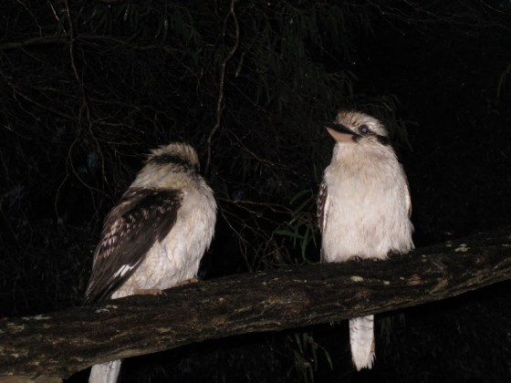Kookaburras at Contos Campground - Cape to Cape Track