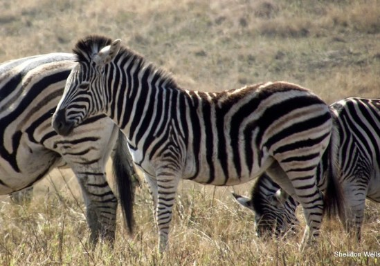 Zebra at Tala Game Reserve