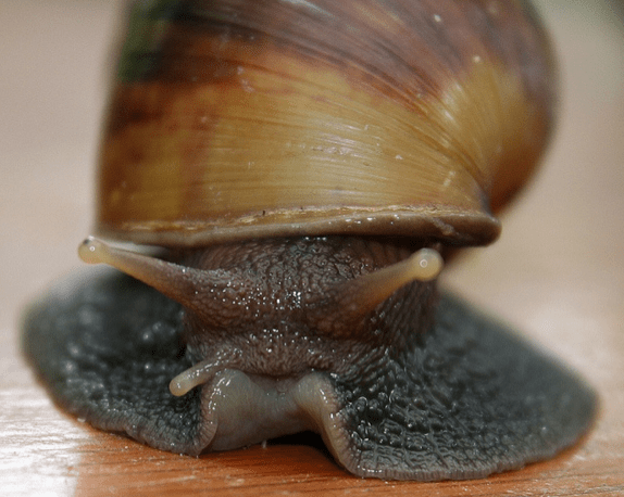 Snailzilla Giant African Snail Seen On www.coolpicturegallery.us