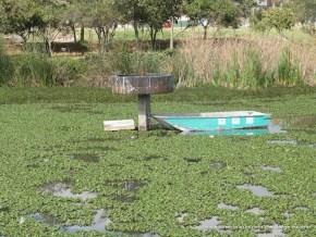 Buchón en el Humedal Juan Amarillo