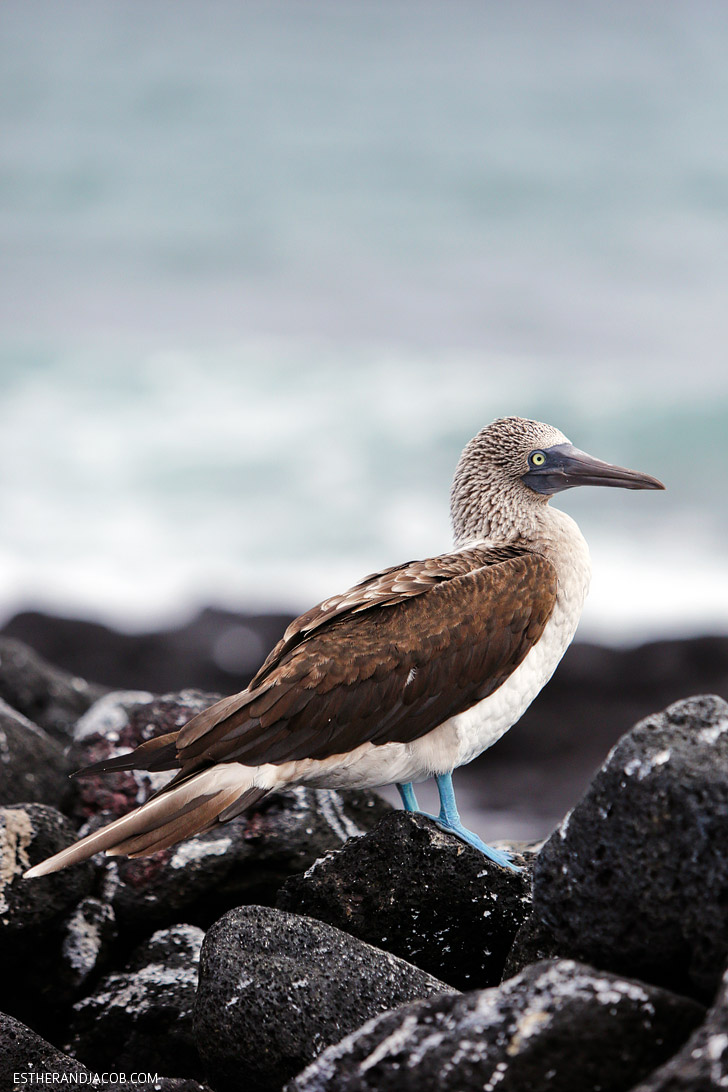 Blue Footed Booby colony in the Wetlands Isabela Island Galapagos.