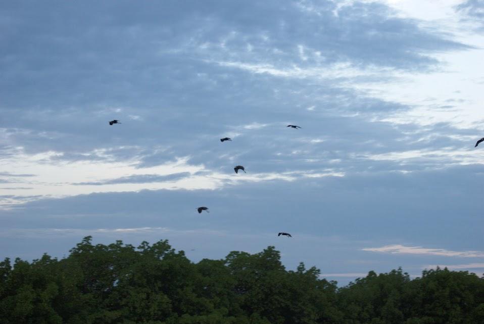 Garzas Volando hacia sus Posaderos en el Delta del Saloum - Senegal
