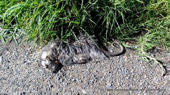 Zarigüeya muerta en humedal Torca-Guaymaral