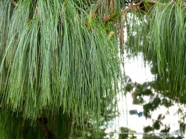 Los rboles del humedal el salitre fundaci n humedales for Capillas de velacion jardin de los pinos