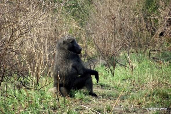 chacma baboon at hluhluwe imfolozi game reserve day safari tour
