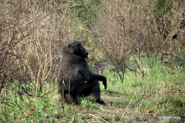 chacma baboon at hluhluwe imfolozi game reserve day safari tour