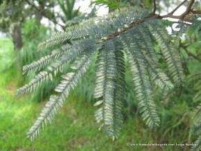 Acacia, Humedal Salitre Greco
