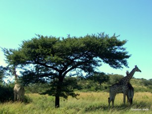 Giraffe under an acacia tree