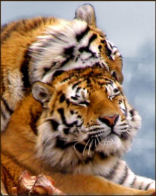 Animales cariñosos: Tigres