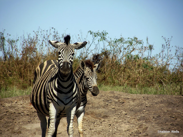Plains Zebra female and young at Tala Game Reserve in KwaZulu-Natal, South Africa.
