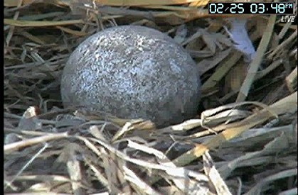 Watch Now Bald Eagle Egg Hatches In A Pittsburgh Nest Local News Lancasteronline Com