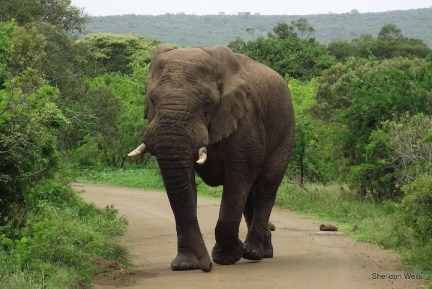Bull Elephant in Musth at Hluhluwe Imfolozi Game Reserve