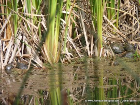 Seis tortugas hicotea en el humedal SML