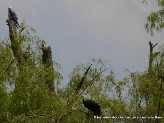 gavilán e ibis  humedal Conejera Bogotá