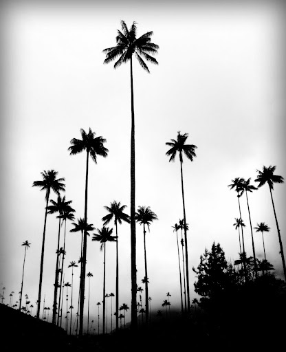 Even more wax palm trees, Valle De Cocora