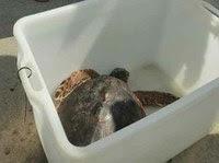 """Forte dei Marmi : la tartaruga """" Pasqualina """" e' tornata in mare"""