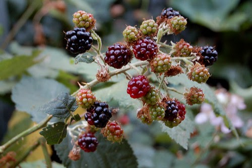 Wild Blackberry Sorbet With Garden Mint Amp Lavender The
