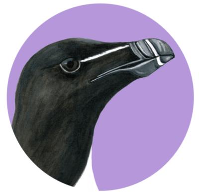 portrait de petit pingouin des Îles-de-la-Madelein