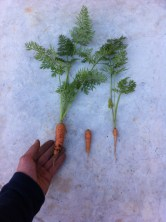 Pequeñas zanahorias