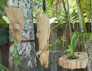 DendrobiumsMounted