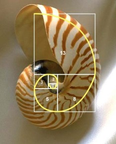 Fibonacci spiral shell