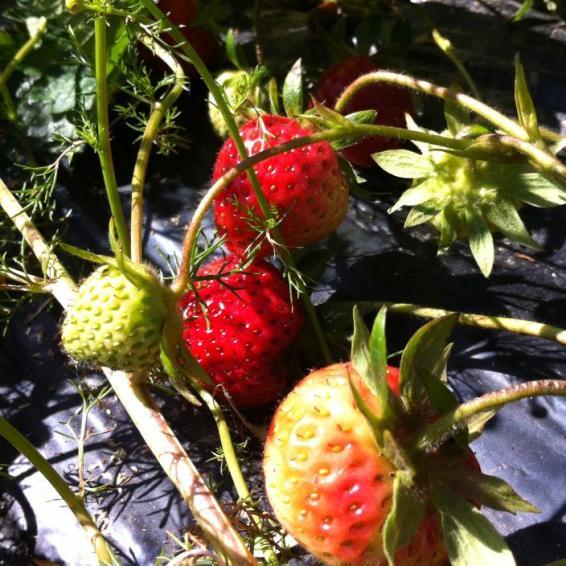 大黃根草莓果凍 Cubes de gelée de rhubarbe à la fraise3