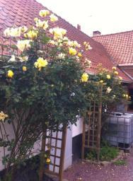 我家前院的黃玫瑰