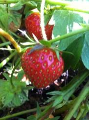 北邊盛產草莓