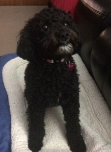 Pepper - miniature poodle and bischon frise cross.