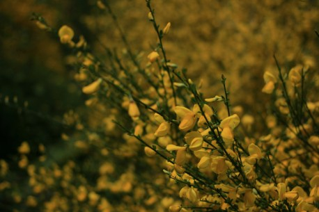 genet-en-fleurs
