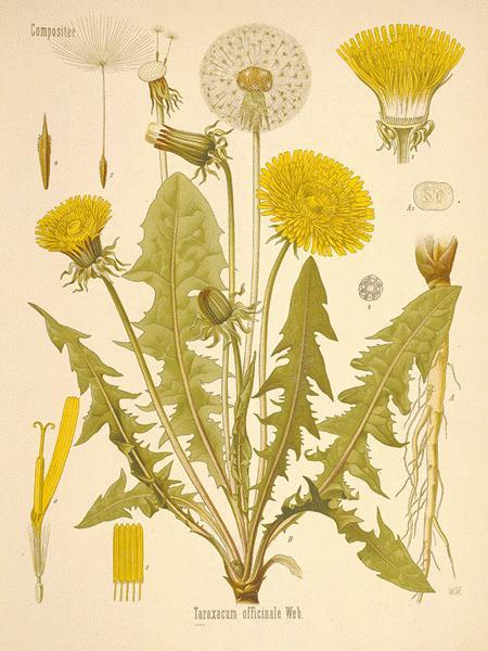dandelion botanical image