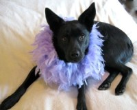 writer's pet dog Milly in boa