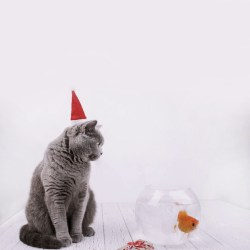 Thoughtful Grey Cat In Red Christmas Cat Sits On White Floor Before Aquarium With Golden Fish