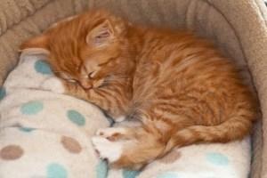 milkmaid kitten Joseph