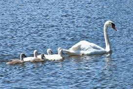swan and cygnets swimming