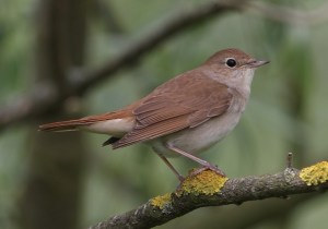 Holiday nightingale
