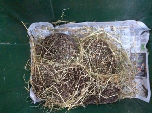 hedgehogs nestled in straw in box