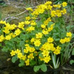 marsh marigolds in flower in spring